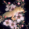 11003-08113 Elegant gecko (Naultinus elegans) a rare, off-white (amelanotic) variant male - resulting from a natural genetic mutation which inhibits pigment expression - in flowering pink manuka (Leptospermum scoparium var. incanum). North Shore, Auckland *