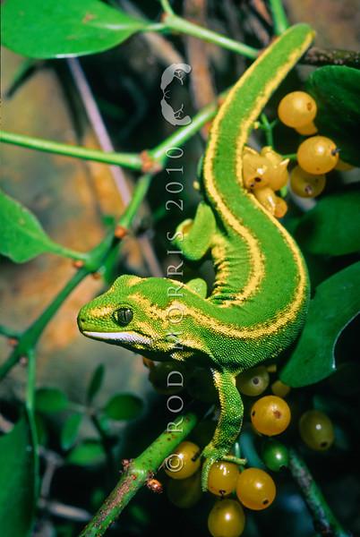 11003-142310 Jewelled gecko (Naultinus gemmeus) male, Otago form amongst mistletoe fruit *