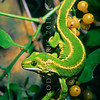 11003-142310 Jewelled gecko (Naultinus gemmeus) male, Otago form amongst mistletoe fruit *