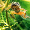 11003-05123 Whistling frog (Litoria ewingii) tailed froglet