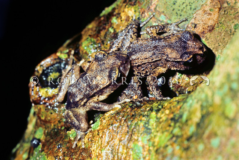 11003-01003 Hamilton's frog (Leiopelma hamiltoni) courting pair up tree in forest on damp night. Maud Island *