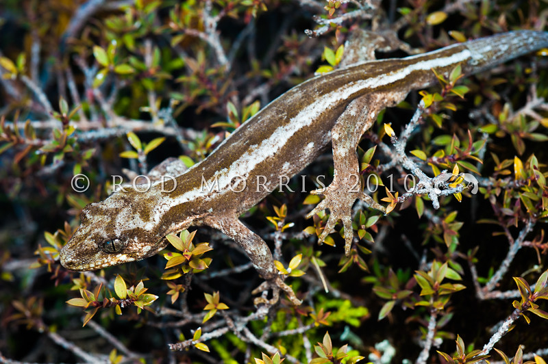 DSC_9035 Forest gecko (Mokopirirakau granulatus) an individual from the Denniston Plateau population, displaying unique longitudinal markings instead of transverse bands, and with a brown base colour instead of the typical grey. This distinctive appearance is not supported by genetic testing however. While both 'striped' and 'blotched' forms occur in many NZ reptile populations, 'striped' forest geckos seem restricted to Denniston Plateau *