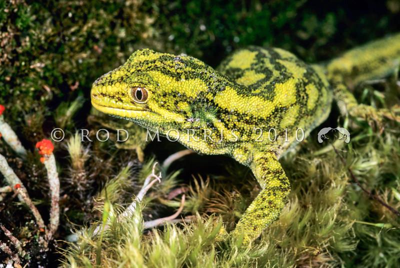 11003-12015  West Coast green gecko (Naultinus tuberculatus)  female on mossy ground *