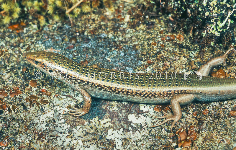 11003-66007 Mackenzie skink (Oligosoma aff. lineoocellatum 'Mackenzie Basin') male on lichen covered rock. Distinguished from other 'spotted skinks' by a lack of markings on the tail, Lake Pukaki *