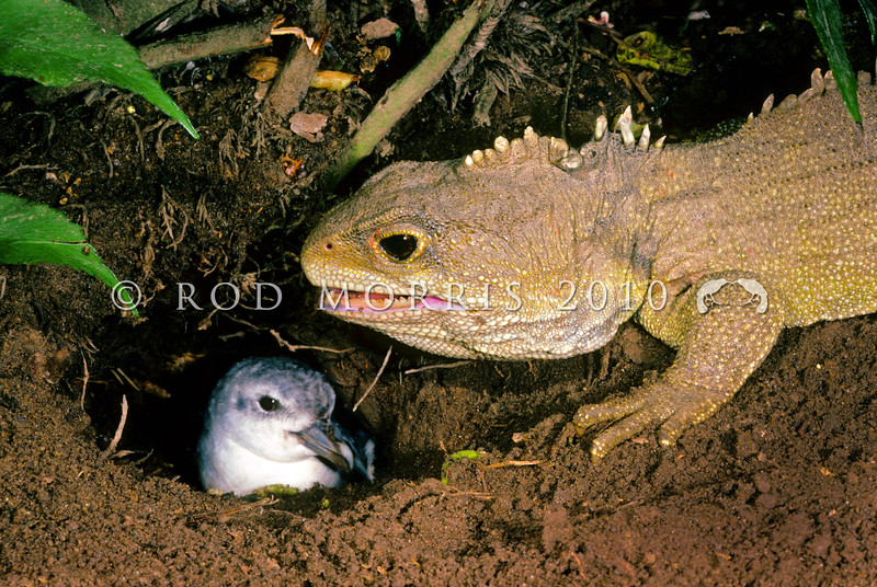 11003-97110 Tuatara (Sphenodon punctatus) on Stephens Island, often 'share' burrows with fairy prion, although the relationship is distinctly one-sided. Stephens Island tuatara contribute to around a 28% failure of all prion eggs laid, either through direct predation, through interference by causing desertion or the exclusion of breeding parents from the nesting chamber, or by the direct predation of chicks. Stephens Island *