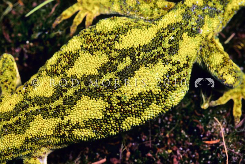 11003-12021   West Coast green gecko (Naultinus tuberculatus) pattern detail on adult female *