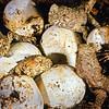 11003-97422 Tuatara (Sphenodon punctatus) hatchlings emerging from eggs in nest. Stephens Island *