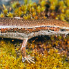 11003-75510 Cryptic skink (Oligosoma inconspicuum) detail of adult on moss-covered rock. Named for its  morphological similarity to several closely-related species, as well as its cryptic behaviour. Eyre Mountains *