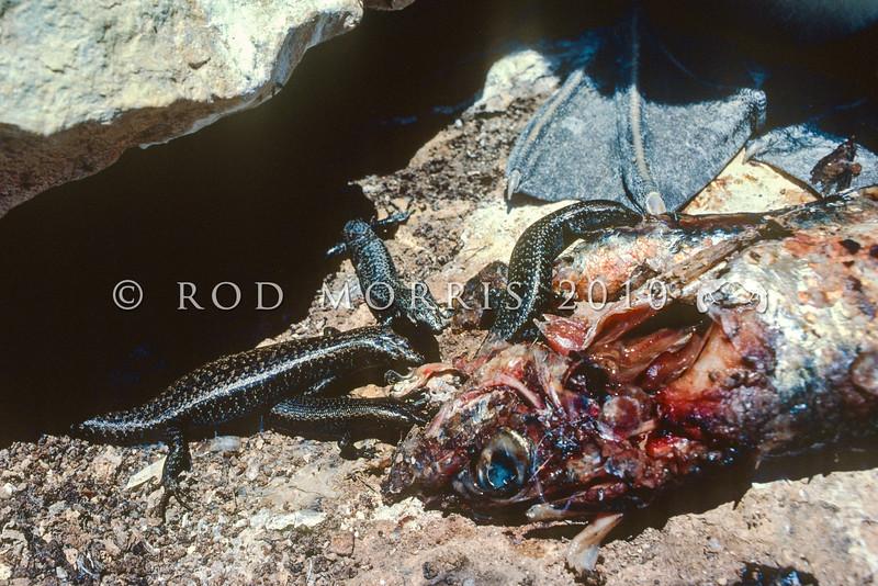 11003-81002 Shore skinks (Oligosoma smithi) feeding on regurgitated fish in the gannet colony on Sugarloaf Rocks, Poor Knights Group *
