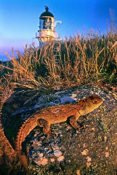 11003-97124 Tuatara (Sphenodon punctatus) portrait of reddish coloured female as the sun goes down on the lighthouse. Stephens Island *