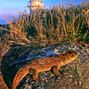 11003-97124 Tuatara (Sphenodon punctatus) portrait of reddish coloured female as the sun goes down on the lighthouse. Stephens Island *