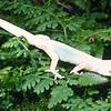 11003-40003 Raukawa gecko (Woodworthia maculata) young female *