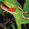 11003-06015  Aupouri green gecko (Naultinus 'North Cape') adult female cleaning eye *