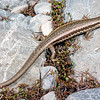 11003-63001 Roamatimati skink (Oligosoma aff. longipes 'southern') active and agile inhabitant of eroded river terraces and dry riverbeds in  Canterbury. Lake Tekapo *
