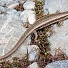 11003-63001 Roamatimati skink (Oligosoma aff. longipes 'southern') active and agile inhabitant of eroded river terraces and dry riverbeds in  Canterbury. Lake Tekapo *