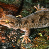 11003-45005 Waitaha gecko (Woodworthia cf. brunnea) female on mossy trunk. Pohatu Reserve, Banks Peninsula *