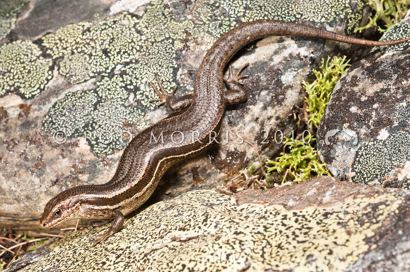 DSC_3443 McCann's skink (Oligosoma maccanni Clade 4) a large mature female. A very common species in drier regions of the South Island. Usually lighter, or more grey in colour than the grass skinks, but some individuals may be difficult to separate out. Rock and Pillar Range *