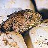 11003-97321  Tuatara (Sphenodon punctatus) hatchling emerging from egg. Stephens Island *