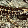 11003-61005  Otago skink (Oligosoma otagense) the largest lizard species remaining on mainland New Zealand. Now confined to mid-altitude tussock and shrubland in the eastern South Island, where they are diurnal, obligate sun-baskers.  Emerald Stream, Macraes Flat *