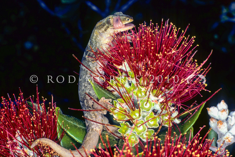 11003-34002 Poor Knights gecko (Dactylocnemis 'Poor Knights') feeding on nectar from a Pohutukawa flower, in forest canopy at night. Tawhiti Rahi *