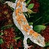 11003-17203  Forest gecko (Mokopirirakau granulatus) male on northern rata flowers. Westland *