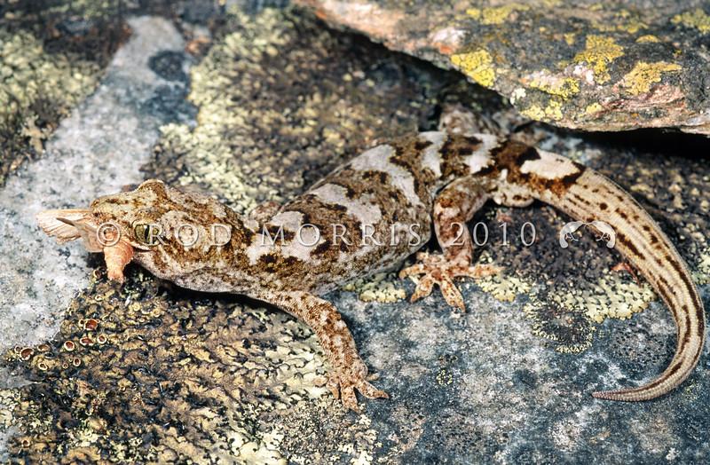 11003-48004  Korero gecko (Woodworthia 'Otago large' - western form) adult male with captured moth *
