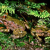 11003-02012 Hochstetter's frog(Leiopelma hochstetteri) 'Central/South Corimandel' greenish adults in moss beside stream. Tapu, Coromandel *