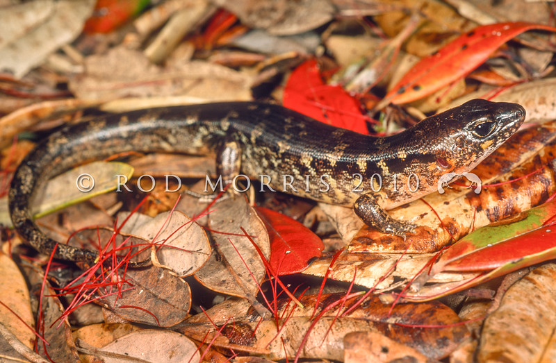 11003-91020 Robust skink (Oligosoma alani) occurs on a number of island groups from Coromandel to North Cape. A distinctive large, 'chunky' nocturnal species, requiring a moist humid environment. It is often most abundant in areas heavily burrowed by seabirds. Moturoa Island, Northland *
