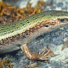 11003-65020 Lakes skink (Oligosoma aff. chloronoton 'West Otago') a more gracile, green-backed (though sometimes brown), less heavily flecked form from West Otago, Eyre Mountains *