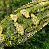 11003-13119 Rough gecko (Naultinus rudis) detail showing 'rough' scales of young female resting on mossy trunk *