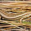 11003-72003 Southern grass skink (Oligosoma aff. polychroma Clade 5)  adult striped morph sitting in coastal tussock. Abundant and conspicuous among rocks or under dense low vegetation. Prefers damper, and more densely vegetated sites than McCann's skink. Allans Beach, Otago Peninsula *