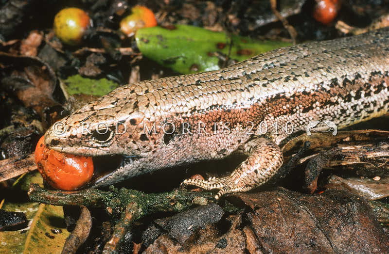 11003-69020 Newman's speckled skink (Oligosoma newmani) medium to large endemic skinks from central New Zealand which inhabit dense vegetated grassland, fernland and shrubland below 900m. There are also seven undescribed taxa within this species complex. This large adult in the Marlborough Sounds is eating fallen Coprosma fruit. Stephens Island *