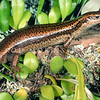 11003-83003 Falla's skink (Oligosoma fallai)  a massive, robust skink from the Three Kings islands. Inhabits coastal forest, scrub and low-growing vegetation. Great Island, Three Kings Group *