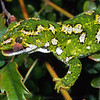11003-14410  Jewelled gecko (Naultinus gemmeus) old male, inland Canterbury form in mountain beech and bush lawyer *