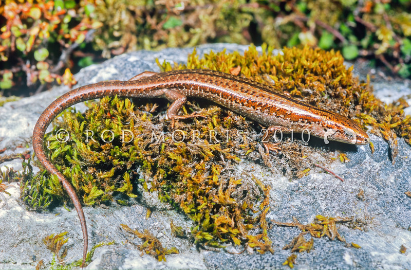 11003-75501 Cryptic skink (Oligosoma inconspicuum) adult on moss-covered rock. Named for its  morphological similarity to several closely-related species, as well as its cryptic behaviour. Eyre Mountains *