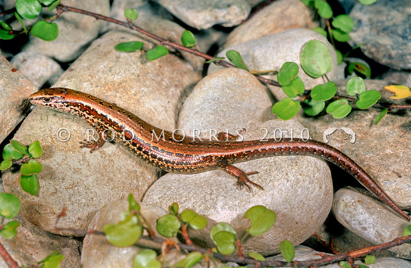 11003-69704 Cobble skink (Oligosoma aff. infrapunctatum 'cobble') found in several sites in Westland. Typically inhabits deep cobblestone habitat just above high-tide mark Can be very abundant, but is cryptic and so seldom seen. One of seven undescribed taxa within this species complex. Granity *