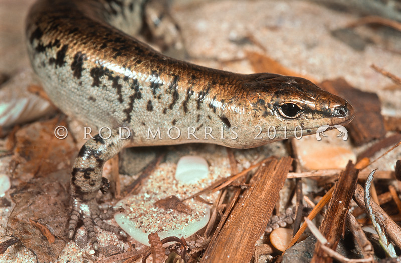 11003-55001 Egg-laying skink (Oligosoma suteri) closeup, female on sand and shingle beach.*