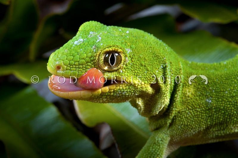 DSC_4863 Marlborough green gecko (Naultinus manukanus) head of female in blechnum fern, showing mouth and tongue colour. Marlborough *