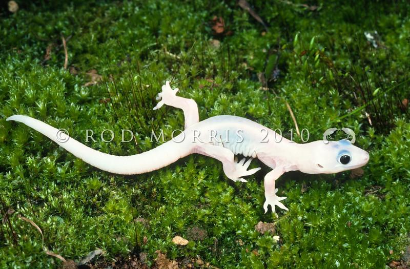 11003-40005 Raukawa gecko (Woodworthia maculata) young leucistic female *