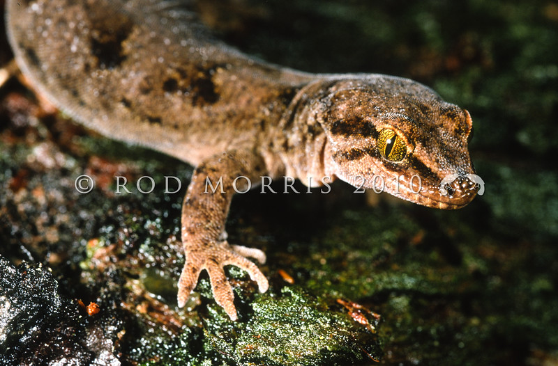 11003-45007 Waitaha gecko (Woodworthia cf. brunnea) female on mossy trunk. Pohatu Reserve, Banks Peninsula *