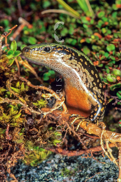 11003-57002  Sinbad skink (Oligosoma pikitanga) large female. This spectacular alpine endemic was discovered in Fiordland in 2004, by herpetologist Tony Jewell. Upper Sinbad Gully, Fiordland *