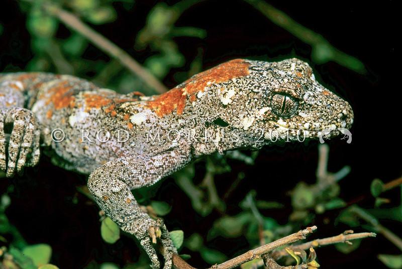 11003-17201  Forest gecko (Mokopirirakau granulatus) male in divaricating coprosma. Westland *