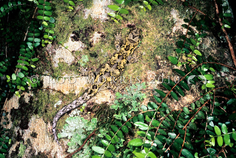 11003-24010 Tautuku, or Blue-eyed gecko (Mokopirirakau 'southern forest') camouflaged male on tree trunk *
