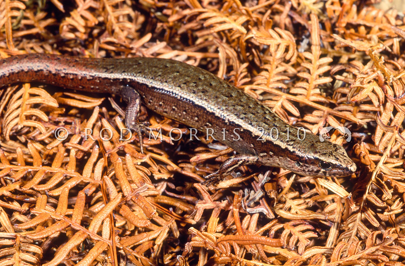 11003-79002 Glossy brown skink (Oligosoma zelandicum) from central New Zealand where it inhabits densely vegetated damp habitats in forest, scrub, farmland and coastlines. Diurnal but secretive. Maud Island *