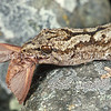11003-40015 Raukawa gecko (Woodworthia maculata) adult male with captured moth. Common around Cook Strait *