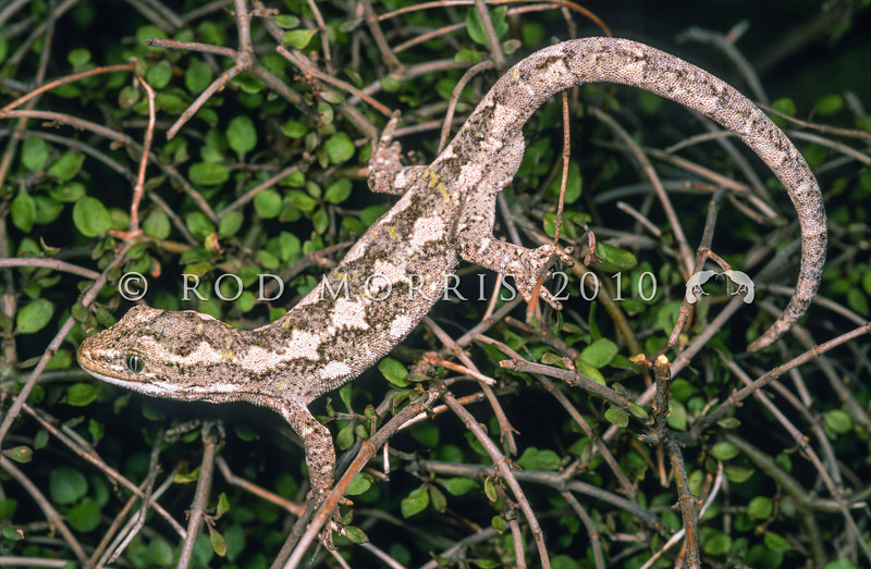 11003-14118 Jewelled gecko (Naultinus gemmeus) a pale brown patterned male from Canterbury on divaricating shrub *
