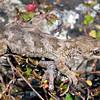 DSC_3621  Korero gecko (Woodworthia 'Otago large' - eastern form) gravid female in muehlenbekia. Otago Peninsula