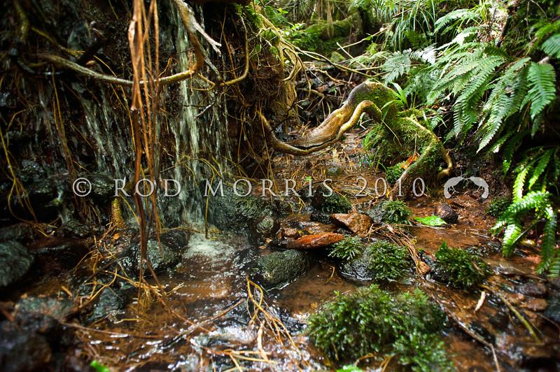 DSC_0381 Hochstetter's frog (Leiopelma hochstetteri) 'Central/South Coromandel' habitat,  Coromandel.