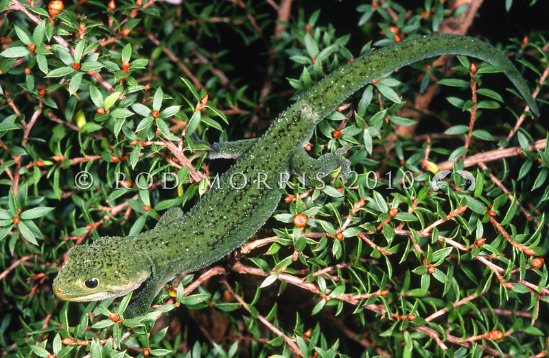 11003-13023 Rough gecko (Naultinus rudis) an unusual dark green juvenile with blue/grey underside *