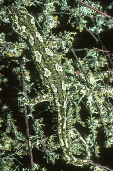 11003-14001 Jewelled gecko (Naultinus gemmeus) male, Canterbury form, basking on lichen covered coprosma *